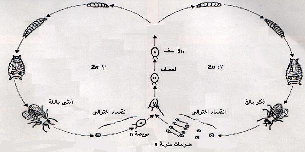 مفهوم دورة النمو و الدورة الصبغية cycle_droso..JPG