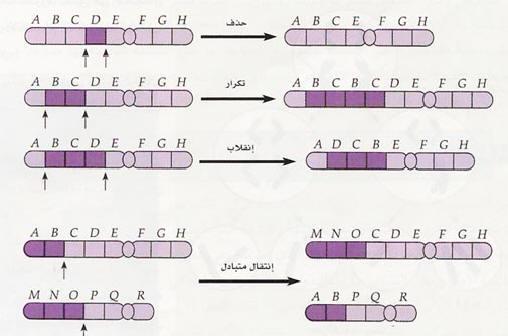 006d718f00f9e شكل (44)  بعض التغيرات في تركيب الكروموسوم1 الحذف Deletion  كم عدد مواضع  الكسر في الكروموسوم؟ هل تلاحظ وجود القطعة في الكروموسوم الناتج؟