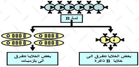 الاستجابة المناعية النوعية ذات وسيط خلطي BLDIFFER.jpg