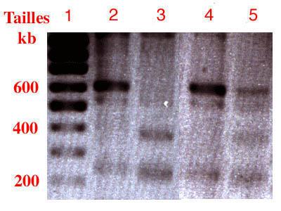 الوراثة البشرية adnanalys.jpg