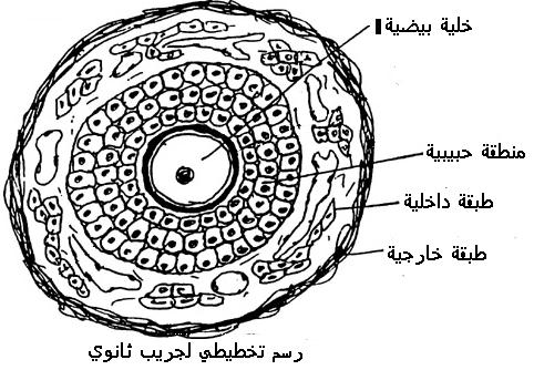 فزيولوجية الجهاز التناسلي عند المرأة FOLPREANTR.JPG