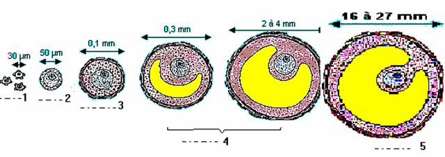 فزيولوجية الجهاز التناسلي عند المرأة follicles.jpg