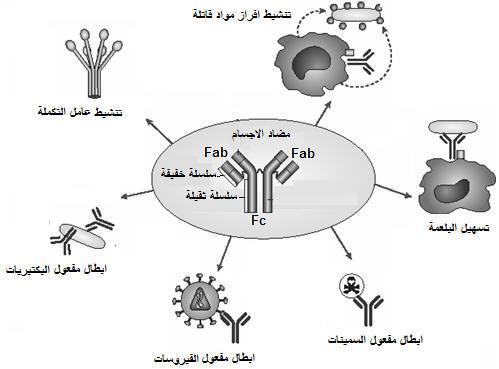 الاستجابة المناعية النوعية ذات وسيط خلطي immuno8.jpg