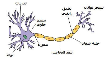 بنية الخلية العصبية: العصبون NEURONE2.jpg