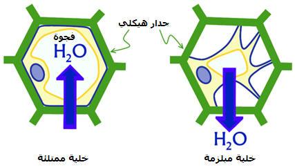 الية امتصاص الماء و الاملاح المعدنية عند النباتات Photos1