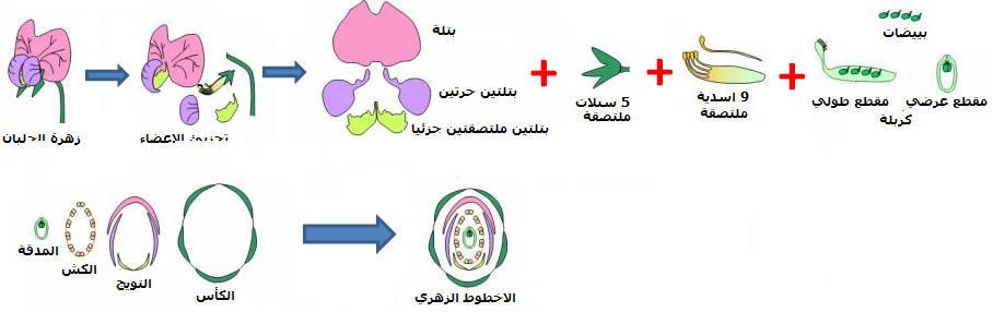 التوالد الجنسي عند النباتات الزهرية Diagfloral
