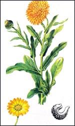 نبات الأذريون ما فوائده. مضار atryon.jpg