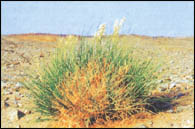 علاج النبات الأذخر Othker